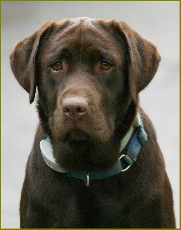 Blue Eyed Chocolate Lab Puppies